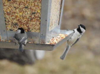 Gray and Black birds on the bird feeder