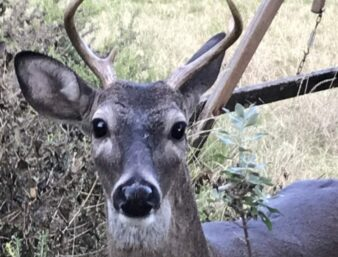 Buck with antlers looking at camera