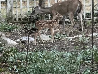 Alice the deer with baby fawn, Biscuit 2018