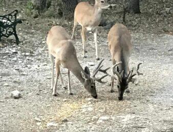 3 bucks wirh antlers eating deer corn in back yard